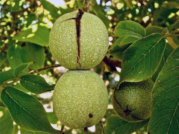 Obrezovanje oreha in obrezovanje starih sadnih dreves