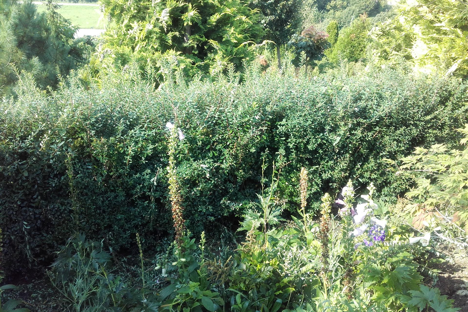 Obrezovanje grmovnic in urejanje žive meje